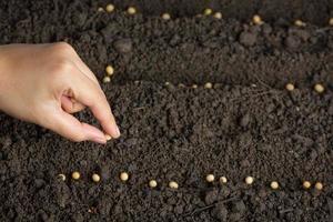 Frau, die Sojabohnen in fruchtbarem Boden für Text pflanzt. foto