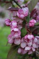 rosa Knospen der blühenden Kirsche. Sakura-Zweig foto