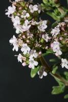 Blume Blüte Nahaufnahme Thymus Vulgaris Familie Lamiaceae Hintergrund foto