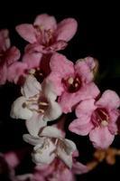 Blume Blüte Nahaufnahme Weigela Florida Familie Caprifoliaceae foto