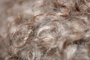 Hund braune lockige Haare Nahaufnahme Lagotto Romagnolo abstrakten Hintergrund foto