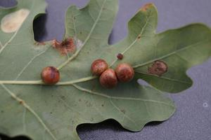 Cynips quercusfolii Gallenkugeln auf Eichenblatt foto