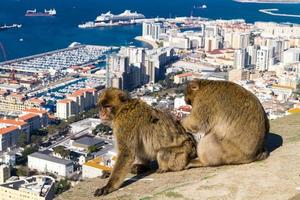 Magot Berberaffen Sylvanus Macaca Affe in Gibraltar foto