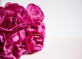 rosa lila Nelken. Platz für Text. Grußkarte. foto