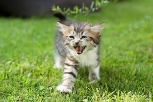 süßes Kätzchen auf der Wiese, im Sommer foto