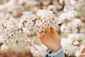Foto der Frauenhand, die Kirschblütenblumen während des Frühlings hält