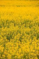 vertikales Foto von gelber schöner Vergewaltigung im Frühling