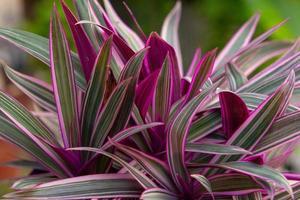pflanze bekannt als lila ananas in rio de janeiro, brasilien foto