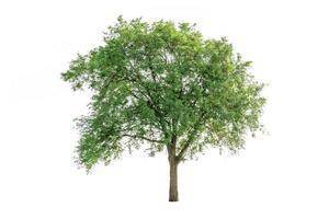 Baum isoliert auf weißem Hintergrund. foto