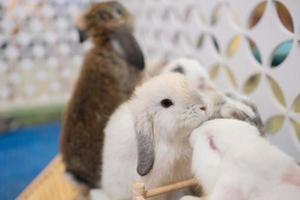 Kaninchen schlafen auf dem Boden, Hase Haustier, Holland lop foto