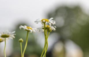 Nahaufnahme von Kamillenblüten in deinem Garten foto