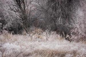 Hirsch im Beifuß foto