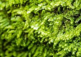Frisches grünes Moos wächst im Regenwald foto