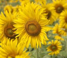 Sonnenblumenblume blüht schön foto