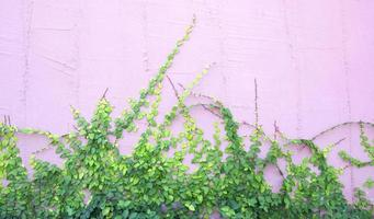 grüne Schlingpflanze an der Wand foto