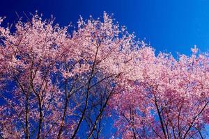 schöne Kirschblüten foto