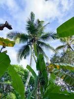 Ansicht von unten auf Palme. Regenwald in Sansibar. Reise in ein exotisches Land foto