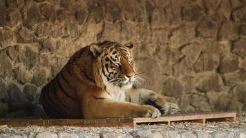 Tiger ruht sich an einem heißen Tag aus und öffnet gelegentlich seine Augen. Junge sibirische Tiger, die im Zoo ruhen. foto