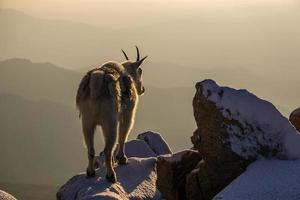 Bergziege auf schneebedecktem Gipfel foto
