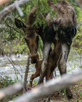 sehr junge Elche füttern foto