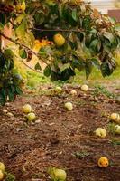 gefallene Äpfel liegen auf dem Boden, eine neue Ernte in der Sonne foto