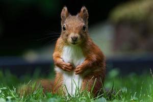 Porträt eines Eichhörnchens auf einer Wiese mit Blick in die Kamera foto