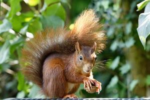 verängstigtes kleines Eichhörnchen hält eine gebrochene Walnuss in den Pfoten foto