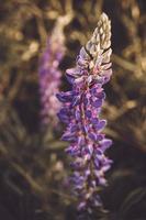 Lupinenblume auf einem Hintergrund der grünen Wiese foto