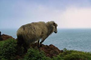 Porträt von färöischen Schafen foto
