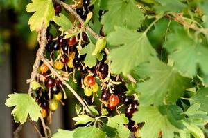 schöne reife schwarze Johannisbeere an einem Buschzweig foto
