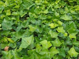 grüner Efeu-Hintergrund foto