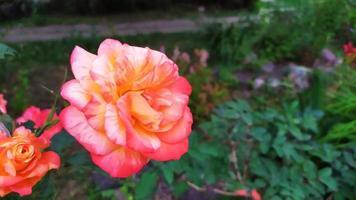 im Sommer blühender Strauch im Garten foto