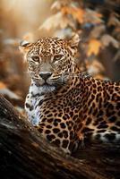 Ceylon Leopard Panthera Pardus Kotiya Detailporträt foto