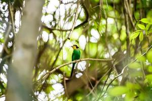 Langschwänziger Breitschnabelvogel, der auf einem Zweig im tropischen Regenwald hockt. foto