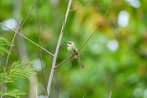 kleiner grüner Bienenfresservogel, der auf einem Zweig im tropischen Regenwald hockt. foto