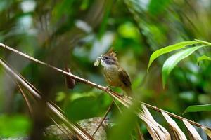 Puff-throated Bulbul-Vogel, der auf einem Ast im tropischen Regenwald hockt foto