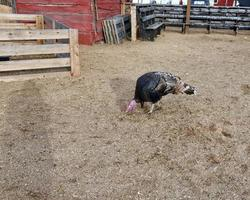 Thanksgiving-Truthahn auf dem Bauernhof foto