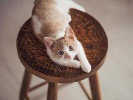 junges Kätzchen mit rotweißer Farbe auf einem Holzstuhl foto