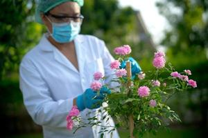 Wissenschaftler Arzt überprüft Gesundheit rosa Baum Rosenpflanze foto