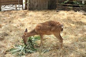 Gefleckter Hirsch, der grüne Blätter im Zoo isst foto