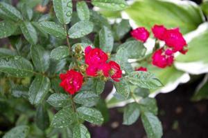 rosaroter Bodendecker foto