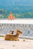 Hirsche und rote Torii in Miyajima foto