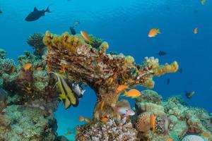 Korallenriff und Wasserpflanzen im Roten Meer, Eilat Israel foto