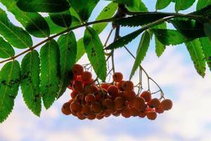 Zweig einer Vogelbeere mit roten reifen Beeren und grünen Blättern foto
