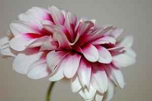 Blume Blüte Makro Dahlie Pinnata Familie Compositae hohe Qualität foto