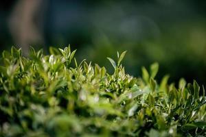 Teefeld, Teeblätter, grüner Bio-Tee foto