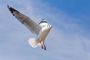 Möwe, die auf blauem Himmelshintergrund fliegt foto