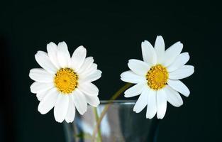 schöne Fauna Blume natürliche Gänseblümchen-Ansicht foto