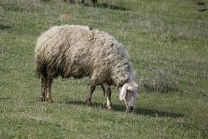 Schafherde auf dem Feld foto