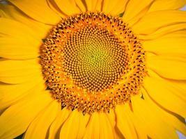 Sonnenblumen-Blumenfoto auf der Vorderseite mit Details foto